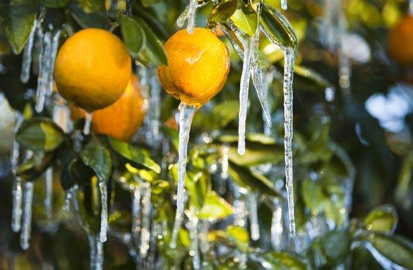 frozen citrus